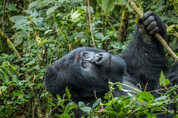 Animal Stock Photos - Silverback Gorilla looking up