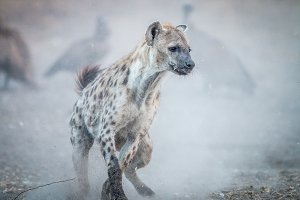 Spotted hyena in the dust