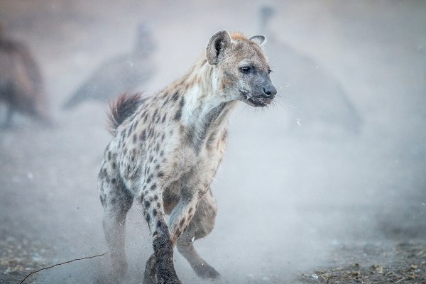 Stock Photos - Spotted hyena in the dust