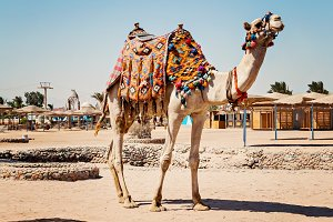 Camel standing to his full height, u