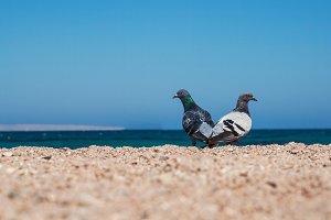 Two doves on a sandy shore morskoym