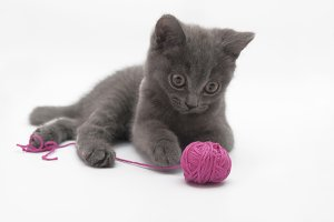 Gray kitten playing with pink clew i