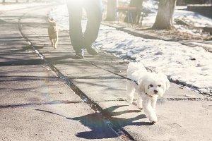 dog breed Maltese lap dog walking on