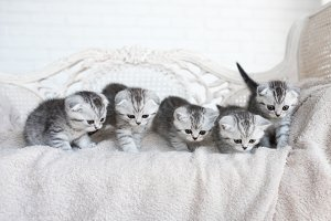 American shorthair kittens play