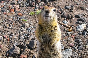 Standing gopher on the ground, Kamch