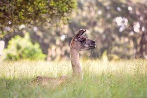 Lama guanaco (Lama guanicoe)