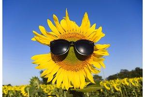 Sunflower in sunglasses. Sunglasses