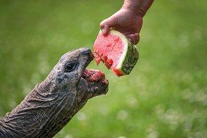 Hand feeding a Giant Tortoise