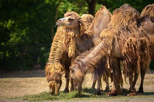 Three Bactrian camels feeding