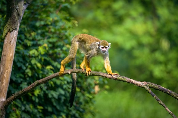 Animal Stock Photos: Nick Fox  - Common squirrel monkey