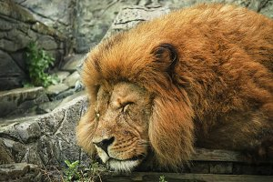 Big lion sleeping in the cage in a s