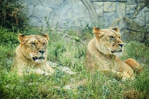 Two lionesses in the open-air cage i