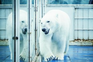 Polar bear in a cage in a safari par