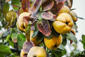 Ripe yellow quince on a branch, sele