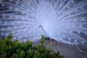 White albino peacock