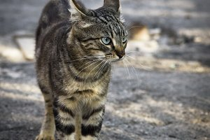 street young gray tabby cat walking