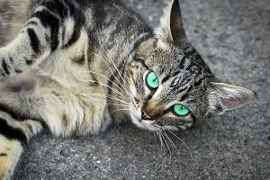gray cat with green eyes lies