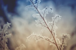 Branches in frost, winter background