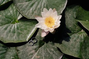 wedding rings on a lotus flower