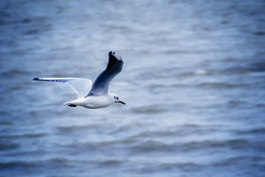 Seagull flying above the waves, sele
