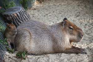Capybara with baby in the zoo, selec
