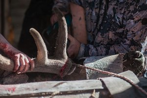Cutting antlers of Altaic stag maral
