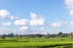 A beautiful rice field view. Bali