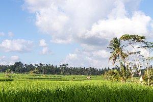 A beautiful rice field view. Bali
