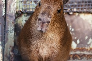 Cute capibara kid in the zoo, a sele