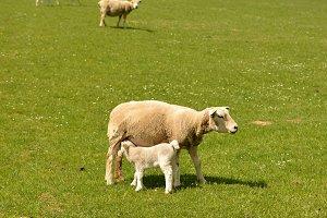 little lamb feeding