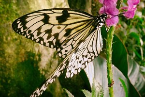 Tree Nymph Butterfly | Idea leuconoe