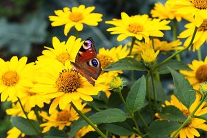 Beautiful butterfly on yellow chamom