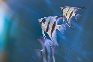 Gray triangle fishes