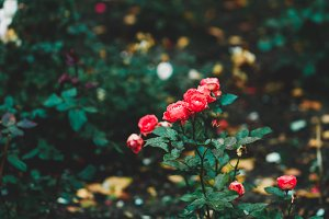 Small beautiful red garden roses