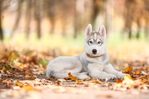 Dog, a Husky puppy, lies on the path