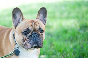Dog. French bulldog portrait close-u