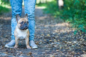 Dog.  French bulldog