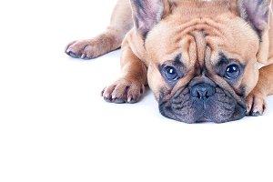 French Bulldog   isolated.