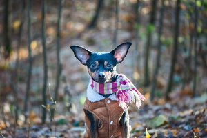 A dog, a toy terrier