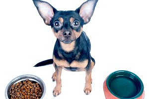 hungry dog, toy terrier