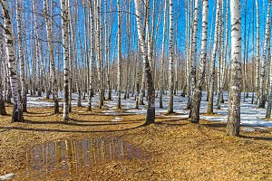 Edge of a birch grove, early spring.