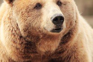 Bown bear
