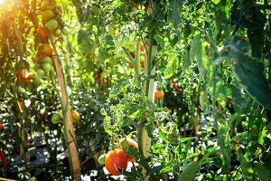 Branch of fresh tomatoes hanging on