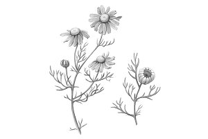 Chamomile Pencil Illustration