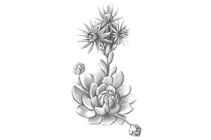 Houseleek Pencil Illustration