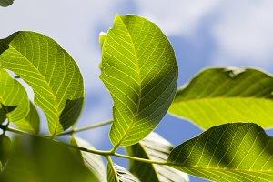 green beautiful walnut