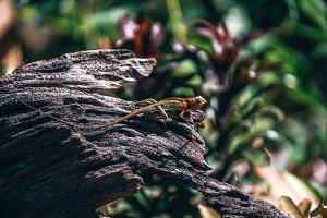 Colorful Tropical Lizard on Tree Log