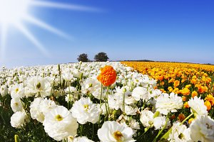 The field of orange and white flower