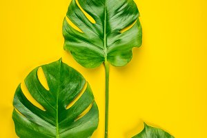 Tropical monstera leaves on yellow b