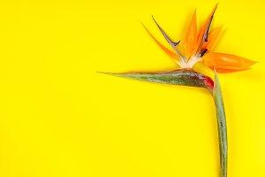 Bird of Paradise flower Strelitzia r